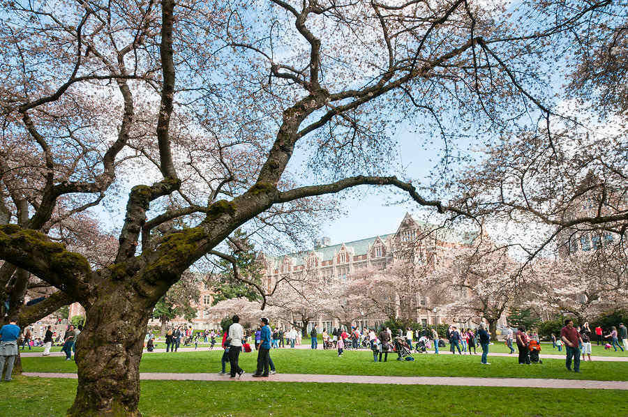 The University of Washington campus with cherry trees in bloom